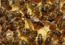 La reducción de abejas amenaza la seguridad alimentaria mundial